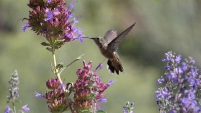 Photo of brown hummingbird feeding on sage flowers.