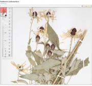 Image of Sweet Coneflower from the Butler University's Friesner Herbarium