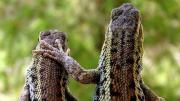 Photo of a lizard with his hand on another lizard's back