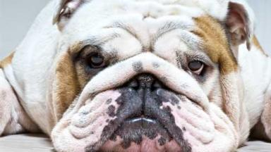 Photo of a bored-looking bull dog.